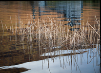 Reeds and Water