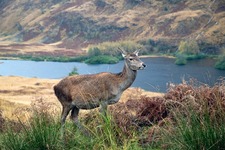 Scottish Deer